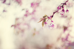 Until the Last Moment. (CarolynsHope) Tags: pink flowers light nature floral vintage spring branch bokeh branches bloom hanging blooming yanni carolynshope