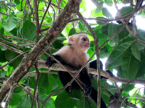 White-Faced Capuchin Monkey @ Manuel Antonio National Park