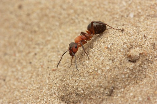 horse ant