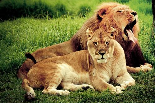[フリー画像] 動物, 哺乳類, ライオン, カップル (動物), 欠伸・あくび, 201104251100