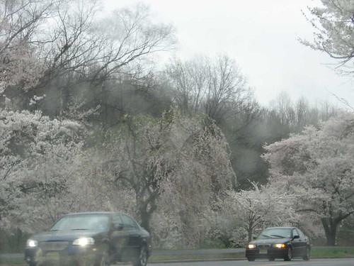 Cherryblossom viewing from the car