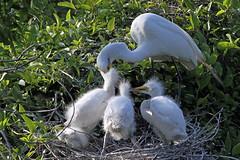 08074_K1Reduced_2011_04_18 (Houstons Bird Photography) Tags: birds wildlife egret greategret egrets greategrets wadingbirds wadingbird