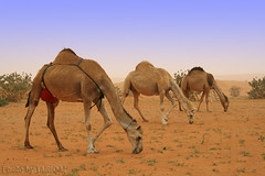Symmetry (TARIQ-M) Tags: tree texture landscape sand waves desert dunes symmetry camel camels riyadh saudiarabia synch unison الصحراء جمال الرياض صحراء رمال جمل ابل رمل طعس نياق المملكةالعربيةالسعودية canon400d الرمل ناقة خطوط نفود الرمال كثبان تموجات canonefs18200mmf3556is تموج نفد