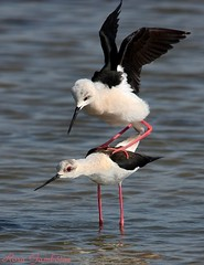 Perna-longa | Black-winged Stilt (Himantopus himantopus) (Rosa Gamboias/ on vacation) Tags: naturaleza bird portugal nature water birds animals gua fauna wildlife natureza birding natura aves pjaros ave animais ornithology birdwatching oiseau oiseaux longshanks avifauna cavaliereditalia pernilongo wader himantopushimantopus blackwingedstilt vidaselvagem pernalonga ornitologia piedstilt camesllargues steltkluut stelzenlufer commonstilt chasseblanche pitkjalka styltlpare styltelber reservanaturaldoesturiodosado  cigueuelacomn rosagambias styltelper