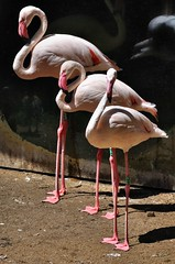 Greater Flamingo (Phoenicopterus roseus) (The Adventurous Eye) Tags: life animal zoo flamingo greater jihlava phoenicopterus roseus