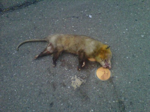 Dead possum in the street