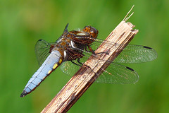 Male Broad-bodied Chaser 1 (michael.smith86) Tags: dragonfly chaser broadbodied