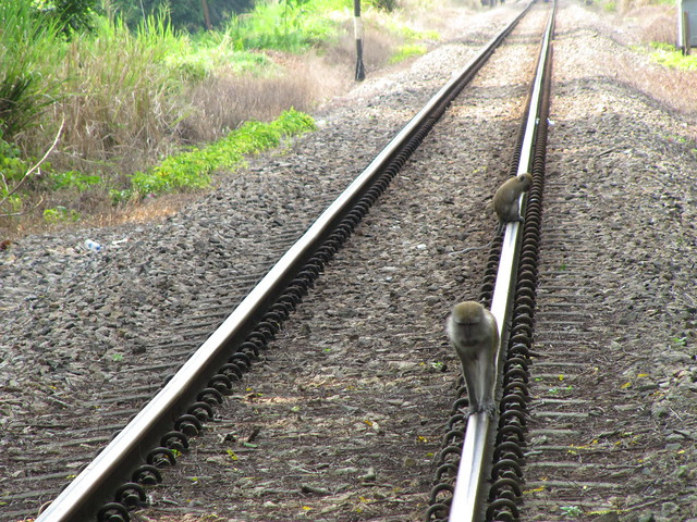 Long Tail Macaques on the tracks