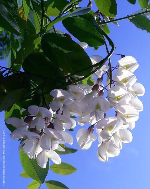 i-fiori