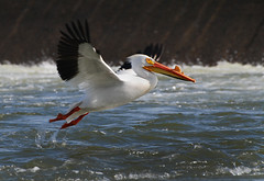 Looking for the Best Fishing Spot (Harry2010) Tags: saskatoon saskatchewan river nature bird americanwhitepelican flying weir wow