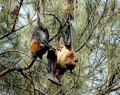 INDIAN FRUIT BAT (PIJUSH KANTI BISWAS) Tags: india bat pb kolkata fruitbats