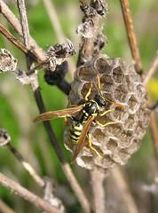 Polistes dominula - Guêpe poliste - European paper wasp - 21/04/11