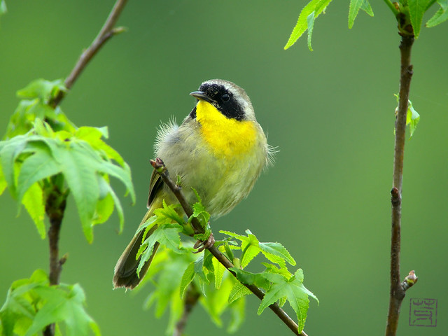 Male Common Yellowthroat, Apr. 2011
