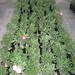 Bonsai Adenium 16