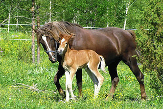 Finnhorse mare with foal