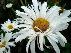 White (Campanero Rumbero) Tags: white nature hojas colombia bogota day flor dia polen belleza