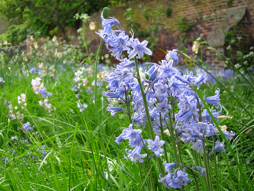 Bluebells in the Garden at Fenton House