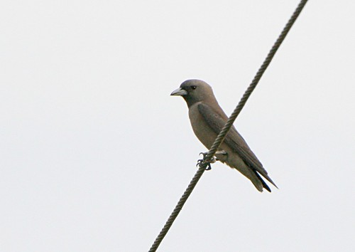 AshyWoodswallow