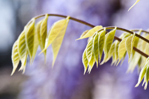 Wisteria Leaves - Copyright R.Weal 2011