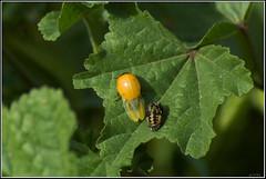 Coccinella septempunctata -   (Eran Finkle) Tags: macro closeup ladybird ladybug ladybeetle coccinellidae coccinellaseptempunctata newlyemerged
