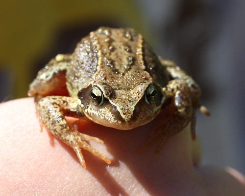 little frog - kisbéka