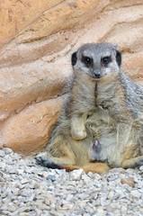 Meercat with erection (olliethebastard) Tags: animal erection meercat