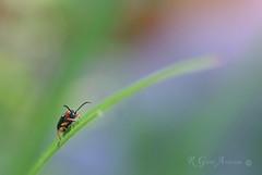 Creepy Crawly (Glenn Anderson.) Tags: red macro grass closeup bug blade antenna a850
