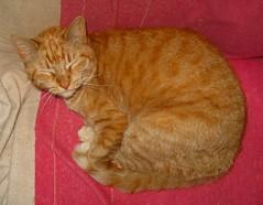Amber snoozing in my office chair (Hairlover) Tags: pet cats pets public cat kitten kitty kittens kitties bestofcats kittyschoice catmoments allcatsnopeople hissablekat