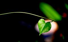 Halo Heart (@mons.always) Tags: green leaves nikon heart halo greenery d90