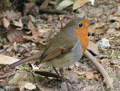 robin looking for food (coral.hen4800) Tags: trees red sky food brown tree green robin fly flying woods gray nuts seed mygearandme