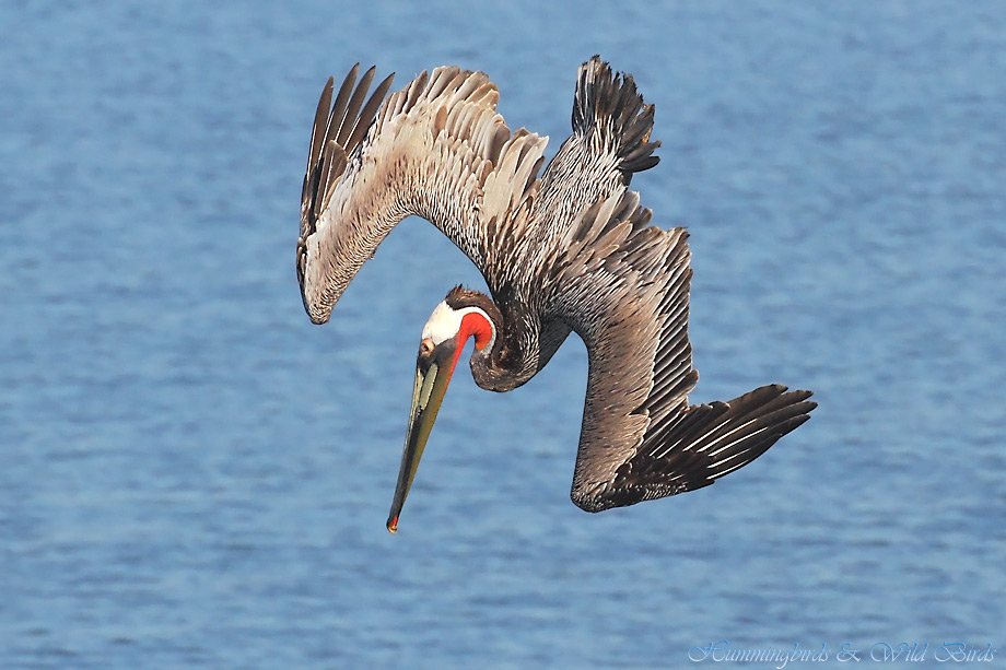 Brown-Pelican-041120