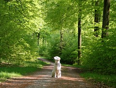 Breathing in the fresh air, hearing the birdsong (Ingrid0804) Tags: wood trees green forest goldenretriever denmark spring path may happiness gribskov explorewinnersoftheworld 100commentgroup saariysqualitypictures