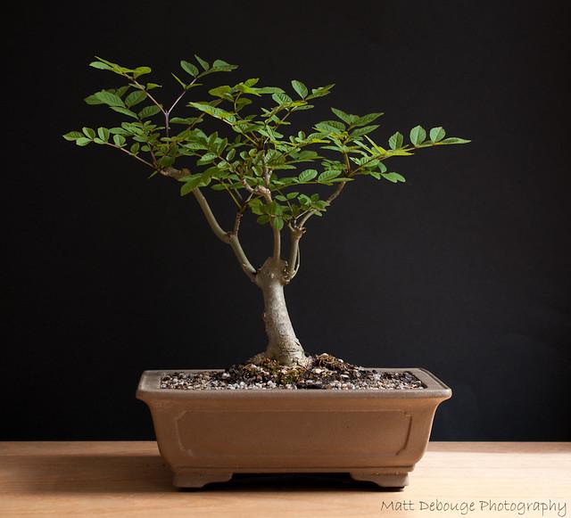 Wee Trees Bonsai Help Forum Advice For All View Topic Ash Bonsai Tree