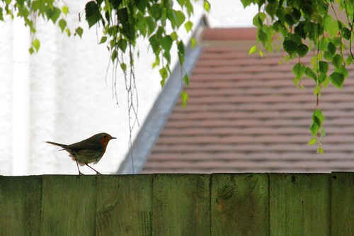 Shady Robin on Fence with Birch and Roof