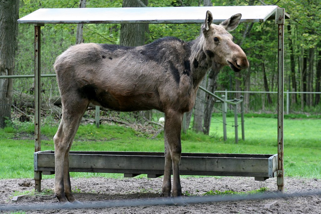 moose at the zoo