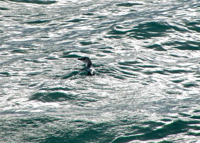 Little Blue Penguin, Akaroa, New Zealand