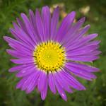 Tahoka Daisy (Machaeranthera tanacetifolia) thumbnail