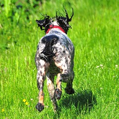 ~~Vite, vite... l'eau...~~ (Jolisa) Tags: dog chien motion nikon perro hund mouvement derrire hlna