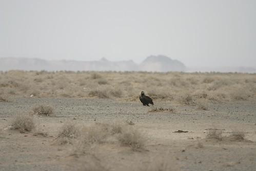 Птица-падальщик