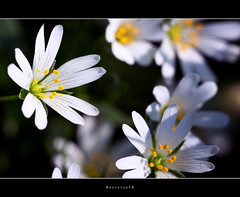 Proud @ .. .. .. .. .. more [explored] (Borretje76) Tags: flowers light white black flower macro green netherlands dutch yellow iso100 groen dof bokeh sony sigma explore geel zwart wit bloemen f9 bloem diepte 180mm stuifmeel scherpte explored meeldraden a580 gupr borretje76 dslra580