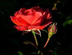 red rose and bud in dew (april-mo) Tags: rose droplets drops redrose dew waterdrops morningdew flowercloseup flowermacro flowerindew