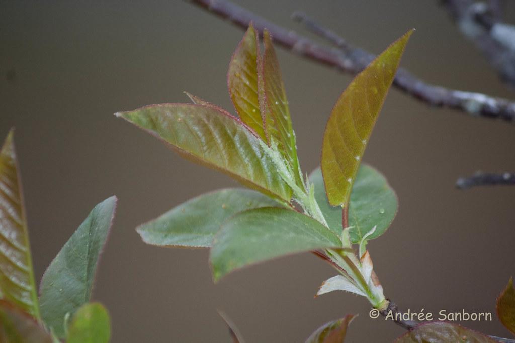 Buds in spring-4.jpg