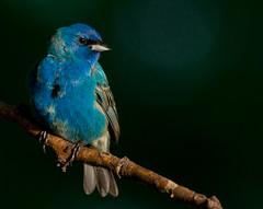 Indigo Bunting (Connie Etter Photography) Tags: blue bird sony indiana indigobunting injune a700 70400mm