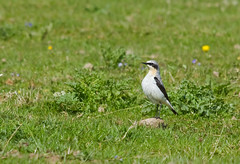 This is MY big blob of dried mud (Steph Cowie) Tags: bird nature angus wildlife wheatear glenesk