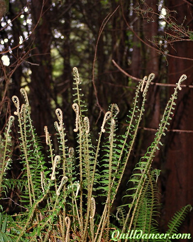 fiddle fern