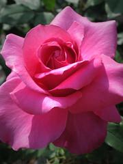 Rose Georges Cassagne バラ ジョルジュ カッサーニュ