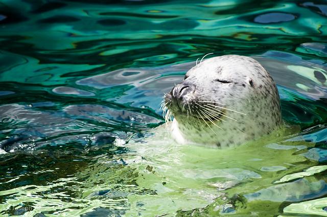 asahiyama_zoo-seal_6056