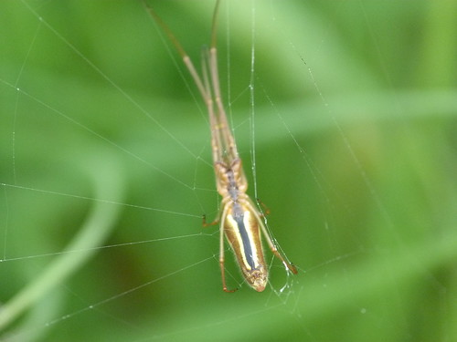 Spider (Tetragnatha extensa) by Peter Orchard