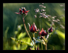 Marsh Cinquefoil (Potentilla palustris) (Anne Worner) Tags: backlight lensbaby potentillapalustris wefi myrhatt swampcinquefoil sweet35