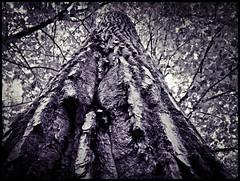 - (Copacati) Tags: trees bw plants naturaleza nature rboles natur pflanzen bume momentos pleasedonotusemyphotoswithoutpermissionallrightsreserved